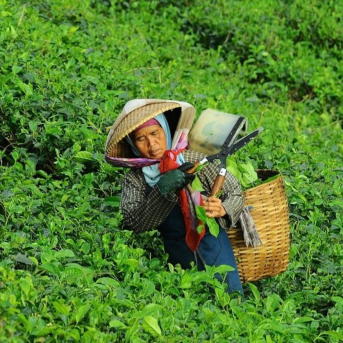 A picture of an Asian woman cutting her plants.